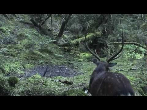 Sika Deer Hunting - NZ Hunting Adventures Vol 2 - SIKA - Part 1