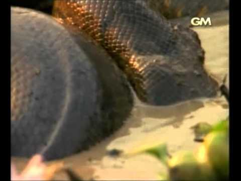 งูยักษ์อนาคอนด้าเลื้อยสยองโลก