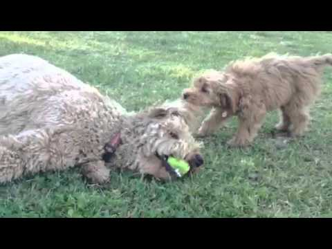 10 pound, 12 week old mini golden doodle takes down 55 poun