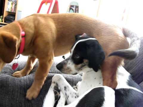 Dachshund German Shepherd Mix walks all over my Pointer Beagle mix ...