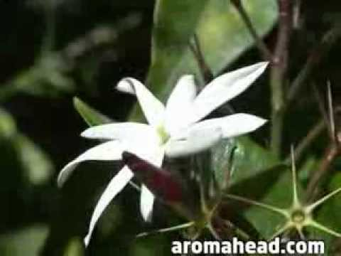 Aromatherapy Essential Oils: Ylang Ylang and Jasmine at the Aromahead Institute
