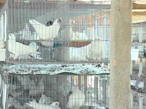 Bồ câu Ngọc Điền - kỹ thuật nuôi bồ câu công nghiệp 2013