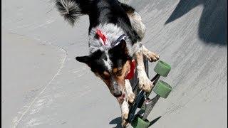 Cão skatista