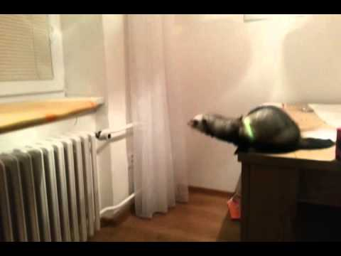 Ferret Jumps Record Breaking Distance