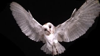Slow Motion Barn Owl Attack