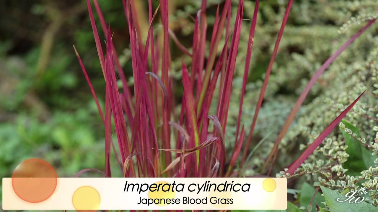 Ornamental grasses featuring japanese blood grass for Japanese ornamental grass varieties