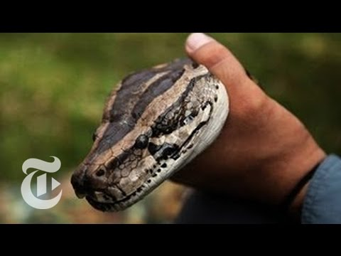 Stalking a Python: Hunting Snakes in a New Florida Competition   The New York Times
