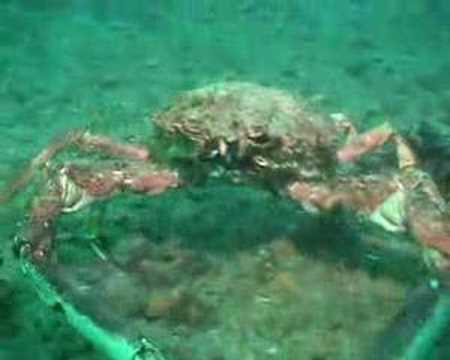 giant spider crab attacks