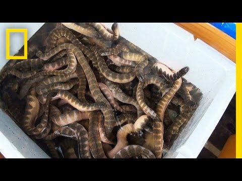 Is Eating Venomous Sea Snakes a Bad Thing? | National Geographic