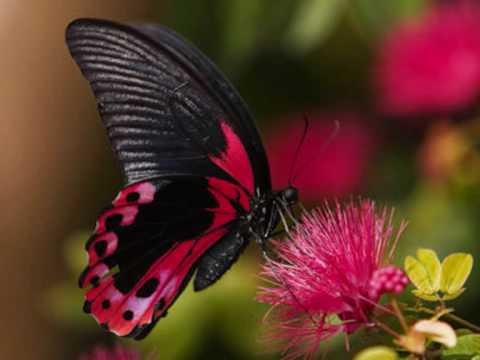 video mariposa traicionera mana: