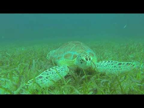 Female Green Turtle Lora at Culebra Island, Puerto Rico, HD, Captured by GoPro Hero 3 Black Edition