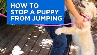 Cách dạy chó không nhảy chồm lên người