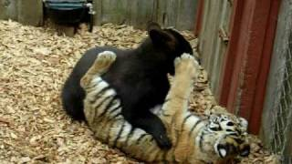 Tiger And Bear Battle
