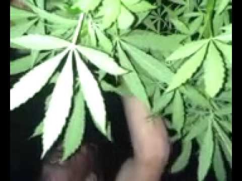 Oregon night journal medical marijuana