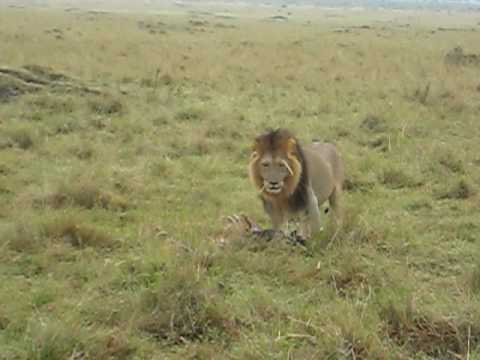 Male Lion carrying Wild Boar carcass
