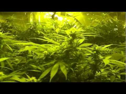 marijuana hydro room grow  3\4 of week flower white rhino.white widow.skunk #2 &g14