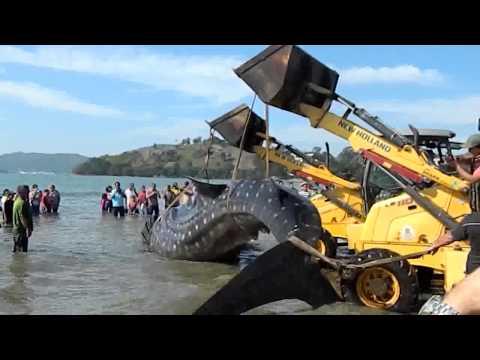 NÃO DEU PRO BICHÃO: Tubarão-baleia morre encalhado no Perequê