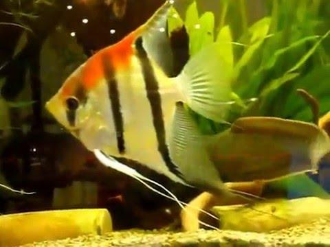 Cá Chạch Lửa và Thần Tiên Lửa - Thiên Đường Cá Cảnh