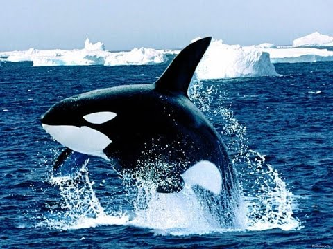 killer whale, killer of oceans /cá voi sát thủ, sát thủ đại dương