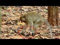 In this video completely Possum do very bad on a newborn baby monkey Samnnang kh