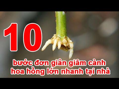 10 bước đơn giản giâm cành hoa hồng lớn nhanh tại nhà