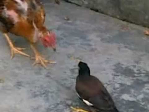Chim sao oanh nhau voi ga