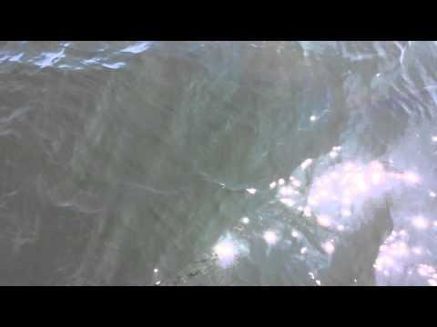 Great white shark St Andrews