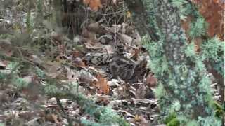 DEMUSLERA BECADA 2011-2012 (Becasse-Beccaccia-Woodcock