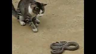 חתול מנצח נחש