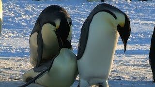 [Funny Penguin Fail - Unlucky in Love] Video