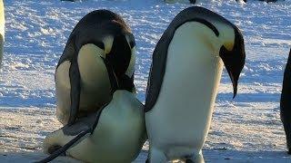 [Funny Penguin Fail - Unlucky in Love] Video