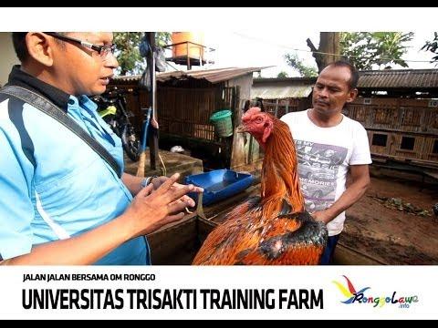 Trisakti Training Farm - Ayam Jago Bangkok