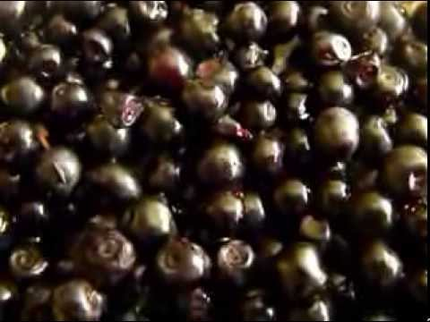Afinul -arbust medicinal-Farmacia naturii