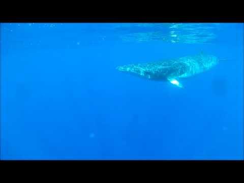 bahamas minke whale encounter