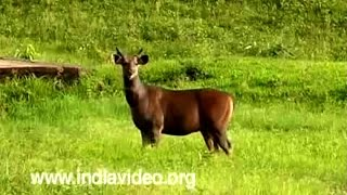 Deers Of Kerala Flora And Fauna Video