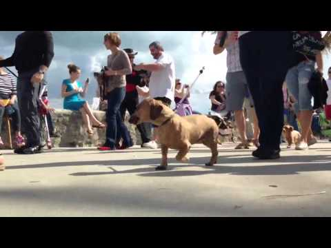 2014 South Florida Dachshund Winter festival