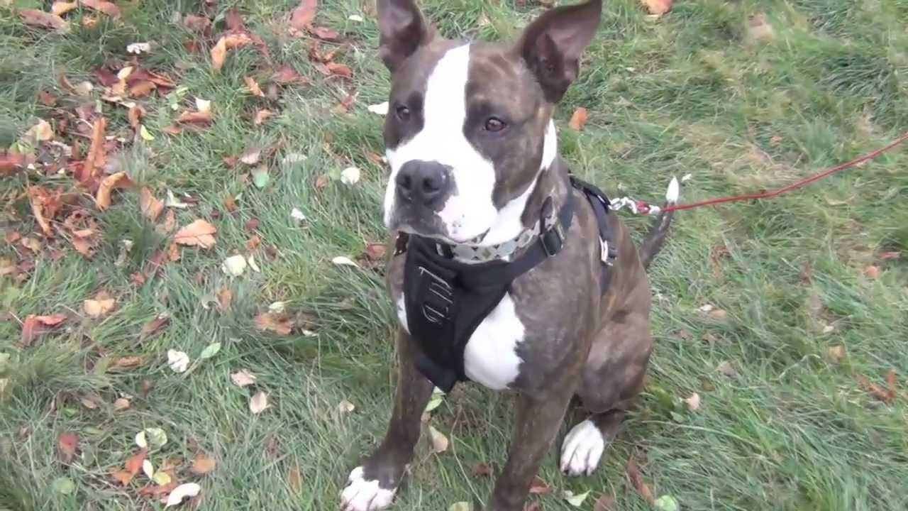 Chango Pit Bull American Staffordshire Terrier Rescue Ridge - YouTube