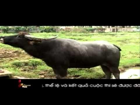 Nghề nuôi trâu chọi ở Đồ Sơn, Hải Phòng - S Việt Nam