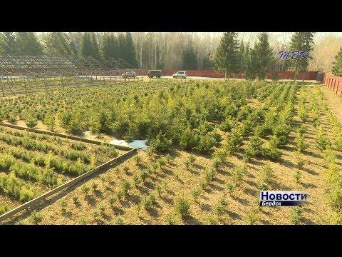 220 тысяч саженцев подготовил бердский лесхоз для восполнения лесного фонда