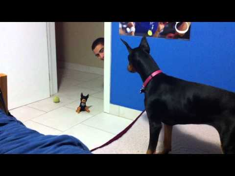 funny scared doberman, Doberman puppy scared of stuffed toy.