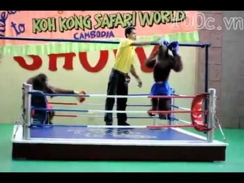 Khỉ đấu quyền Thái - Hài hước