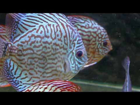 "Discus Fish Varieties from Sydney Discus World Aquariums  HD Discus Fish Tank Tropical Fish, Add a splash of colour to your aquarium with our selection of Discus Fish, the ""King"" of the Tropical freshwater aquarium. Please visit our website http://ww..."