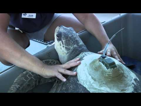 Aquarium of the Pacific Releases Rehabilitated and Endangered Olive Ridley Sea Turtle