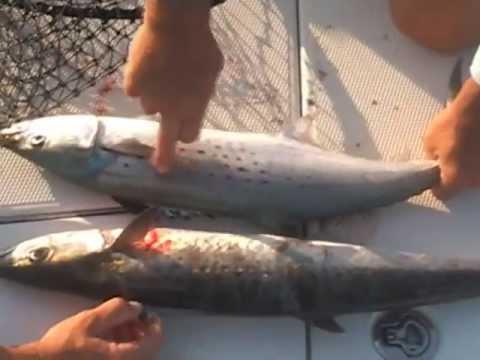 Carolina fishing tv season 1 3 spanish kings youtube for Carolina fishing tv