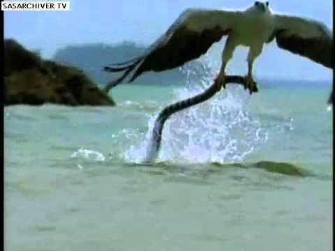 águia caçando