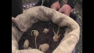 Cultivar patatas en tu casa