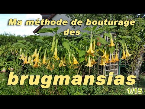 Ma méthode de bouturage des brugmansias - 1/15