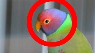 [KNOB HEADED PARROT (RARE)] Video
