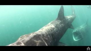 Basking Shark13