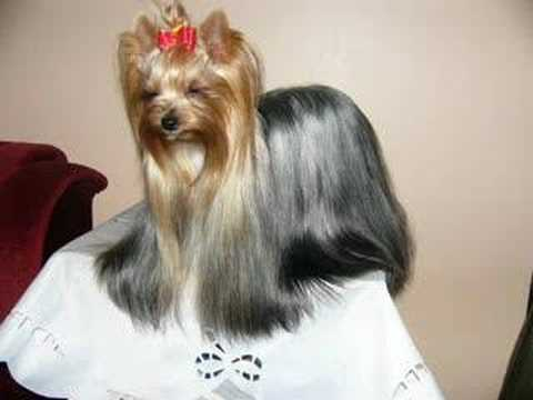 Cute Yorkie Hairstyles Yorkshire Terriers Yorkies Video